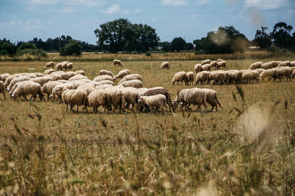 capalbio destination wedding tuscany photo photographer sheeps l